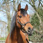 Onze paarden - Billy