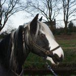 Onze paarden - Cil